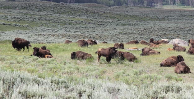 Bison herd in Yellowstone National Park. Photo by William Wyckoff.