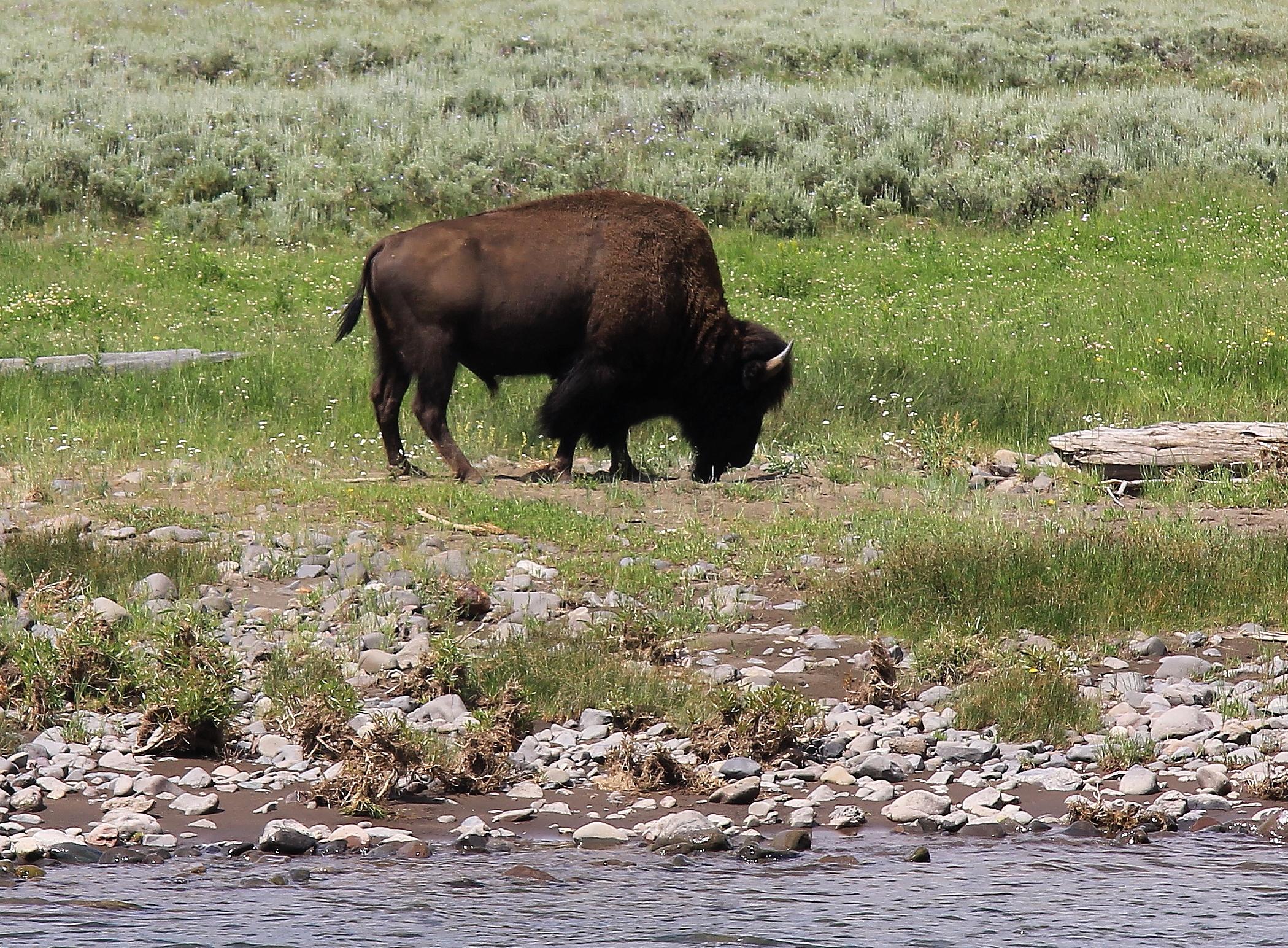 bison blog photo 2